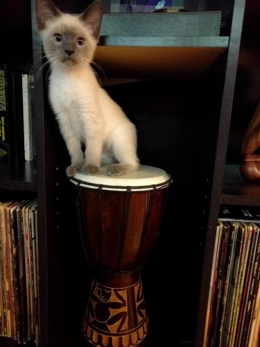 Djembe Kitty